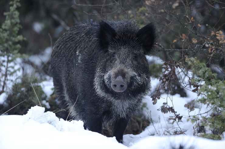 Argazki: Jabali en la nieve